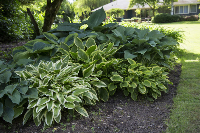 hosta plants in a garden flower bed