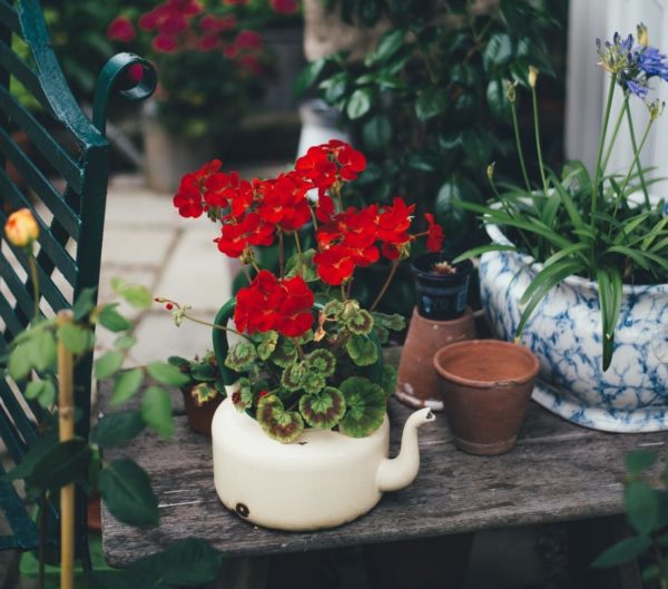 vivid red geraniums grow from a vintage metal teapot on a wooden bench in a garden filled with plants
