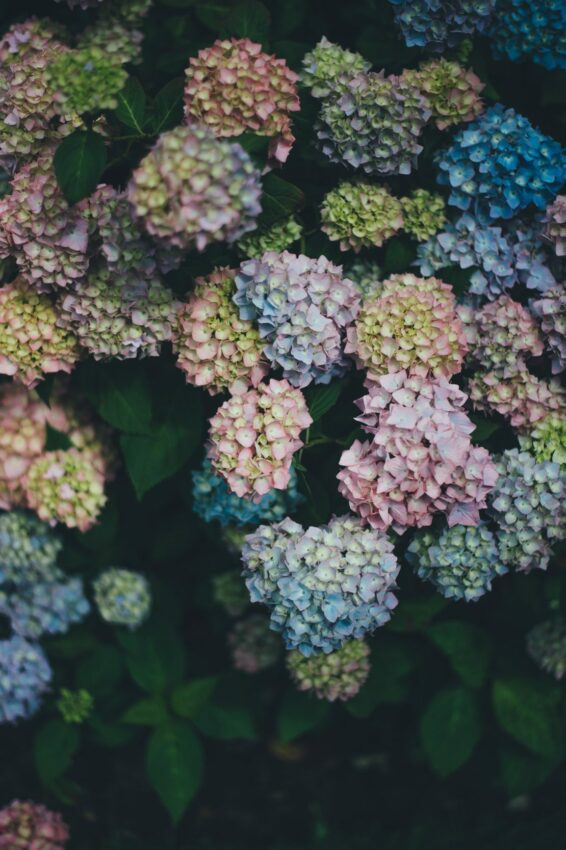 blooming hydrangea flowers in shades of pink, yellow and blue