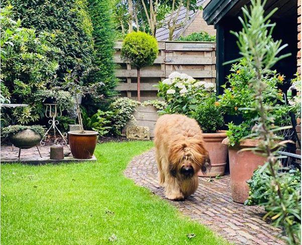 a big fluffy beige dog walking along a cobbled garden path