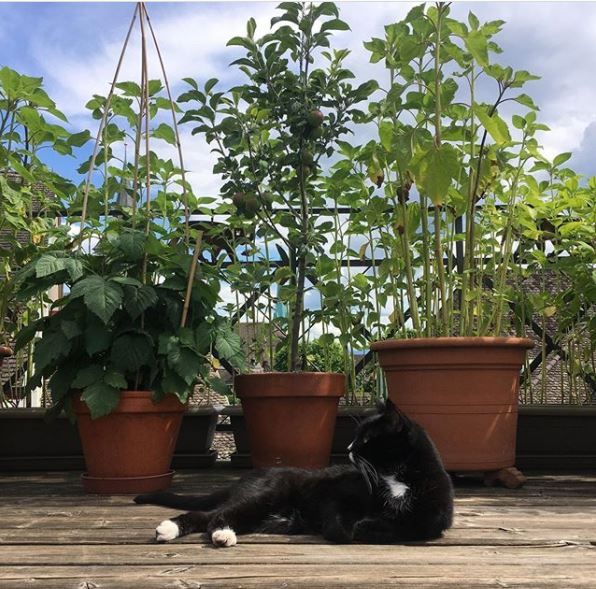 a black and white cat enjoys the sunshine in front of three large pots with vegetables growing in them