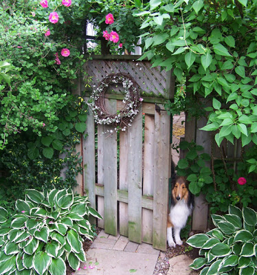 a collie dog peers curiously through a garden gate