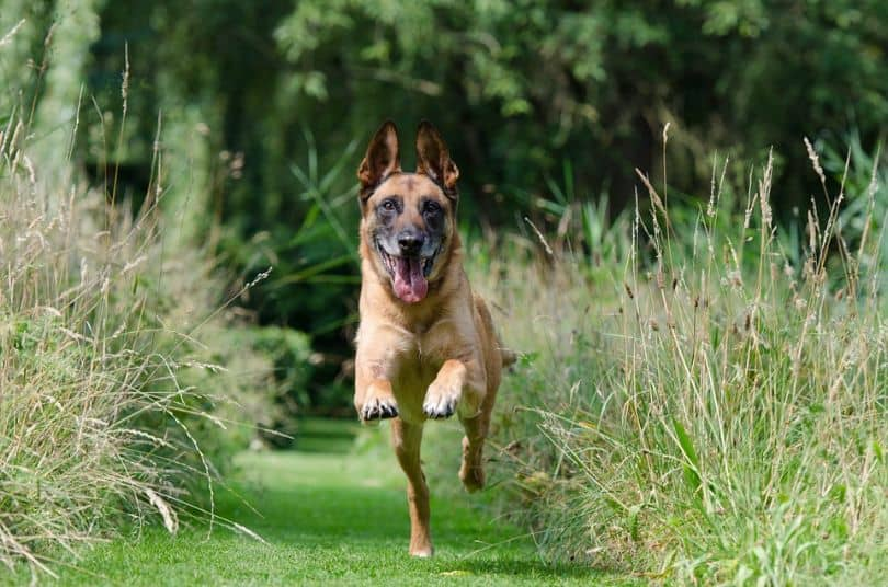 a dog leaping down a grass path between flower beds