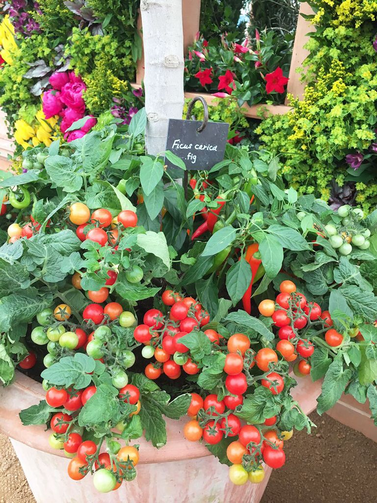 a large planter filled with a huge tomato plant, heavy with tomatoes