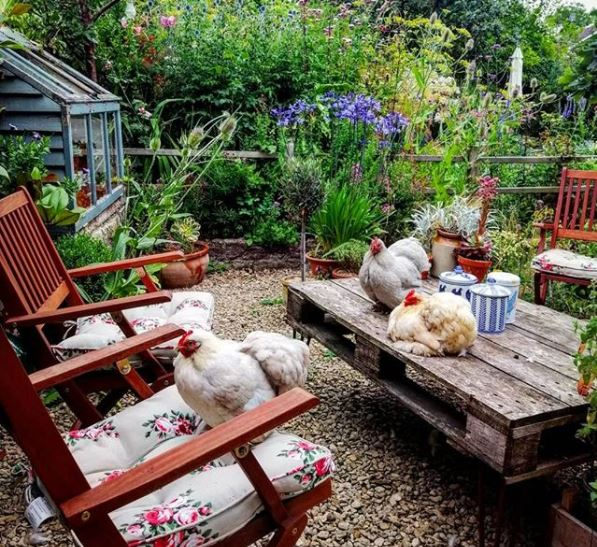 a pallet table with folding wooden garden chairs and several chickens laying across them