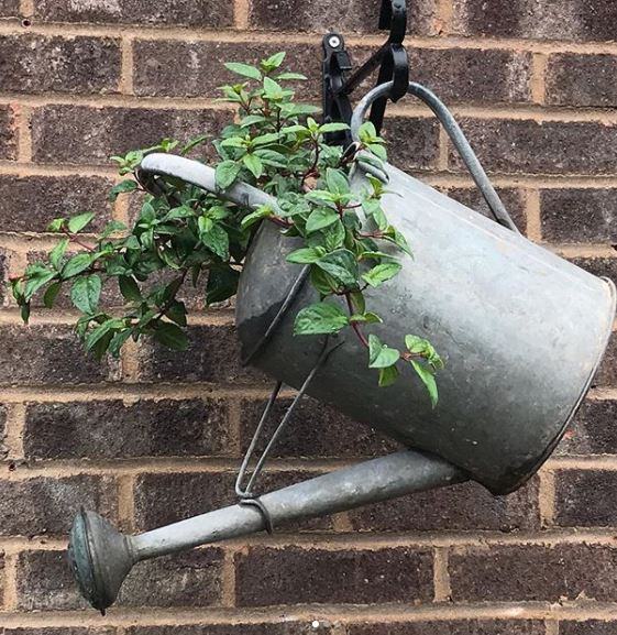 a watering can hanging on a wall bracket with a trailing plant growing inside