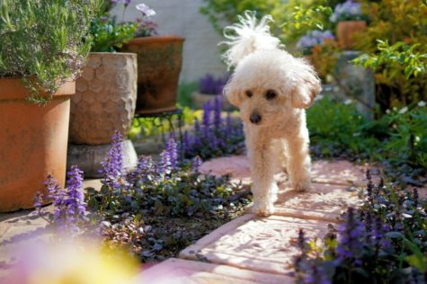 a little white poodle dog walks down a garden path between plants