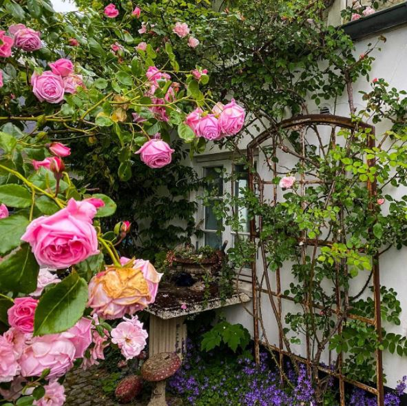 a huge rose bush, climbing a trellis and blooming with pink flowers