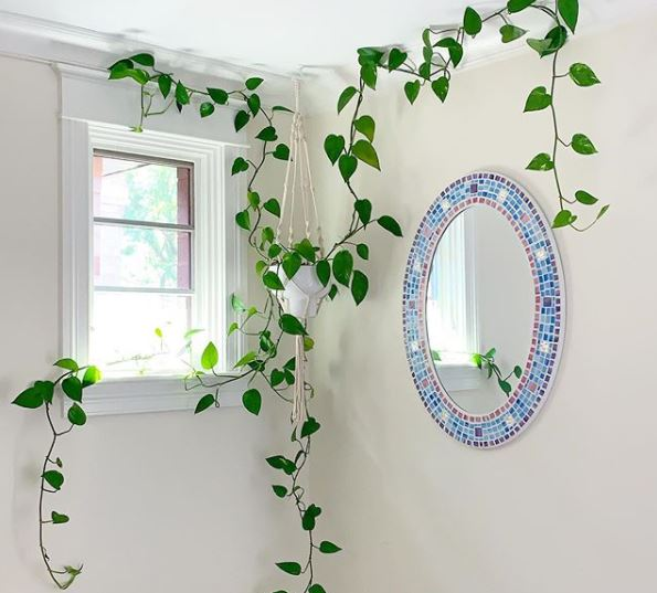 pothos in a hanging basket, trailing across the ceiling, wall and window