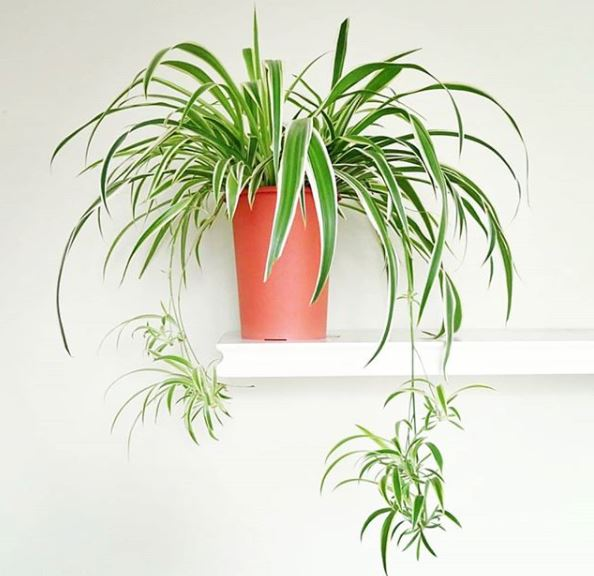 potted spider plant with babies