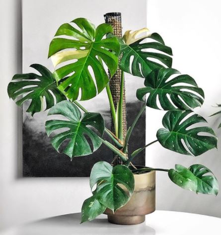 a monstera plant in a gold pot