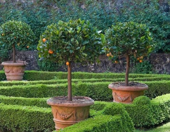 small orange trees growing in large plant pots