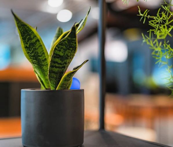 a small snake plant on a table