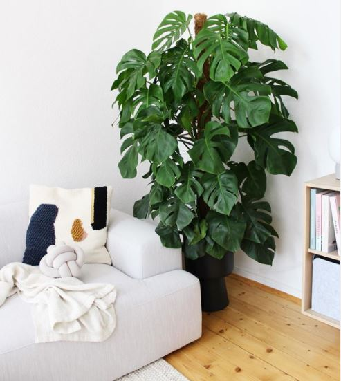 a large monstera in the corner of a bright room