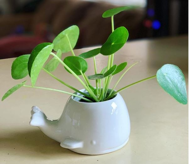 a small pilea plant inside a fun, whale shaped pot, as if the plant is a water spout