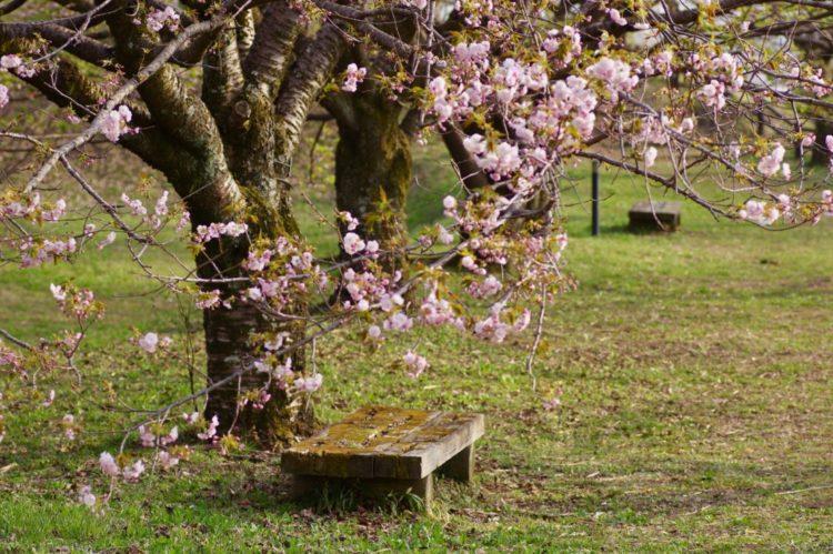 a stone bench beneath a cherry blossom tree