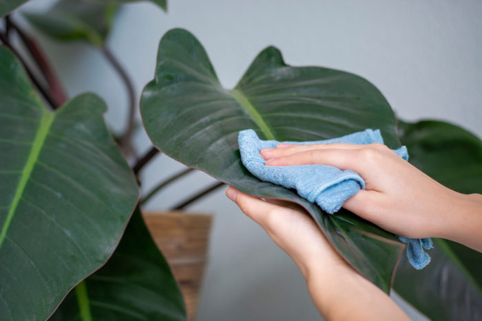 someone gently dusting a large green plant leaf