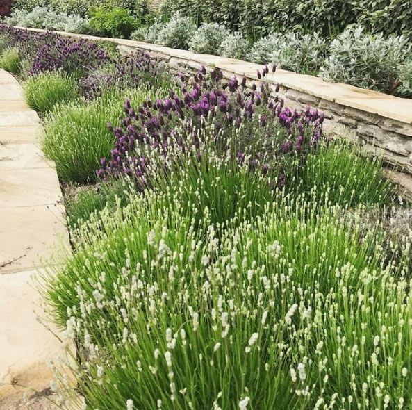 a garden border filled with bushy clusters of lavender