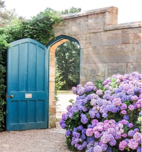 hydrangea flowers in front of a stone wall at Scotney Castle