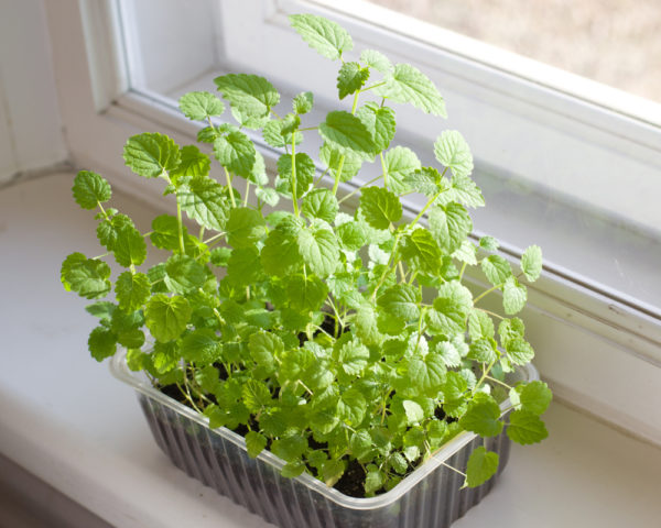 a plastic container with basil growing inside