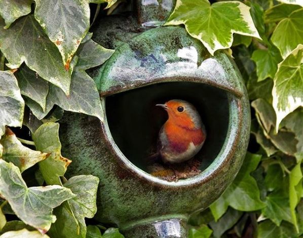 a red-breasted robin peeks out of a nesting box