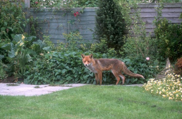 garden ideas for wildlife can encourage foxes