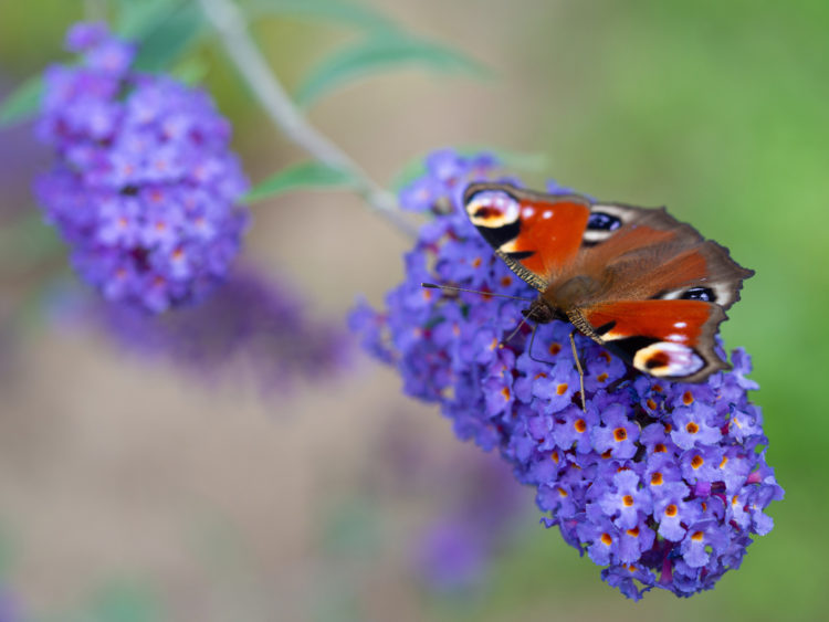 a butterfly with open wings sitting on a buddleia flower