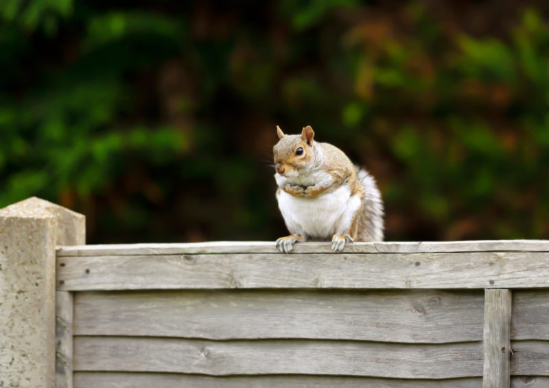 a plump grey squirrel sits atop a grey garden fence