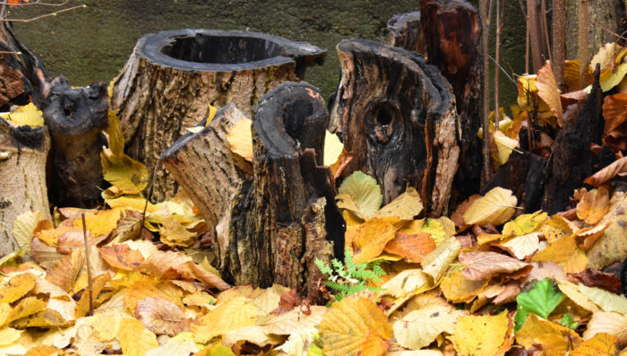 a stumpery made from decaying tree logs