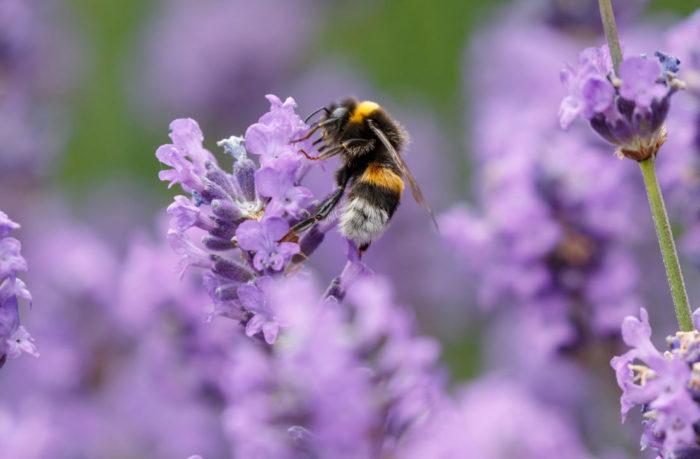 a bumblebee enjoying lavender flowers