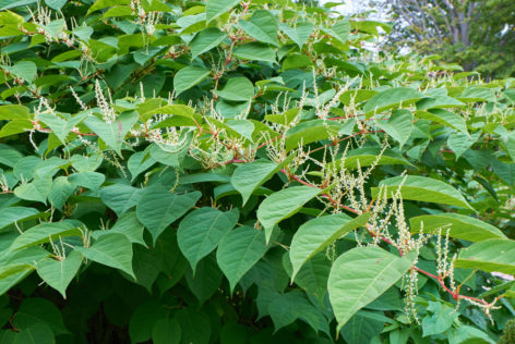 japanese knotweed is an unwanted garden plant for most house buyers