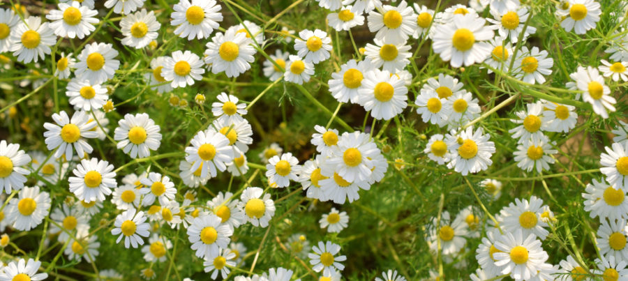 a close up of camomile flowers, which have big yellow centres and little white petals