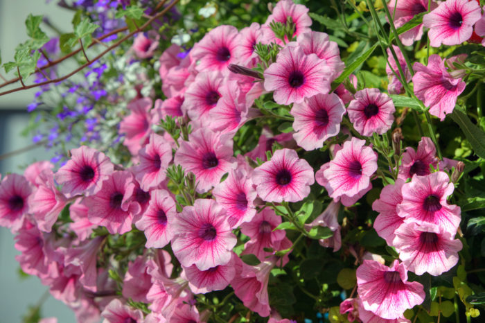 pink trailing petunias cascading over each other