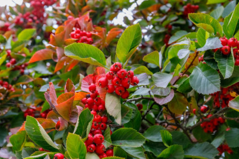 a pycanthea, or firethorn bush that would prevent people climbing into your garden