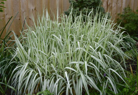 best ground cover plants for texture include grasses like ribbon grass, also known as Phalaris arundinacea var. 'Feesey' or reed canary grass