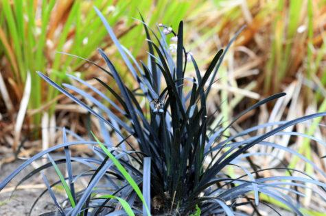 a tall, spiky clump of grass in an interesting dark green, blue-black colour