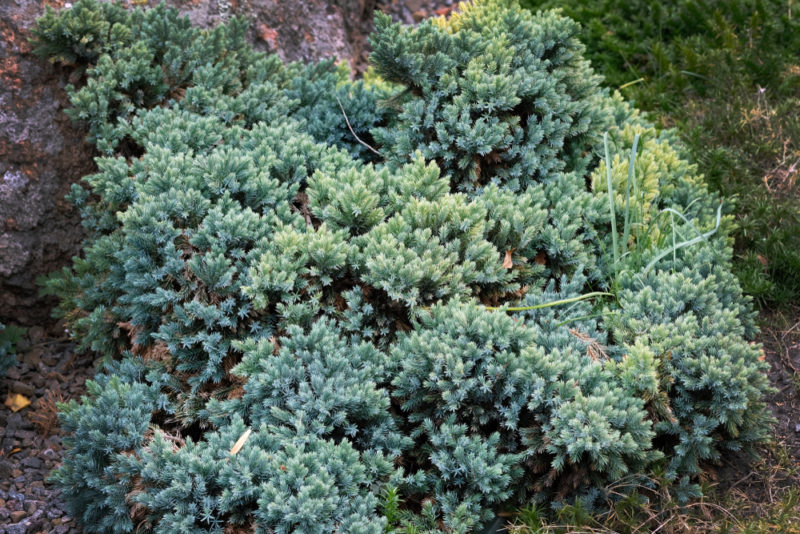 a large Himalayan juniper, a good ground cover plant for bushy texture