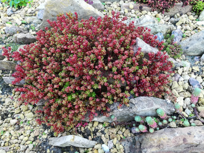 a rockery garden with a red sedum plant
