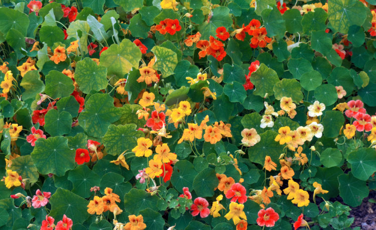 a flower bed or yellow orange and red nasturtiums