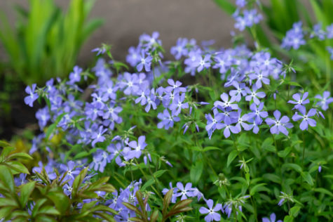 a cluster of pretty blue periwinkle flowers for flower bed ground cover
