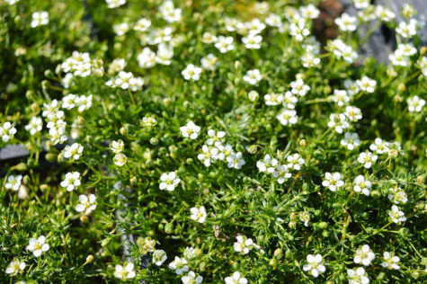 best ground cover plants include Irish moss, which has delicate white flowers