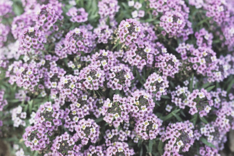 a thick patch of sweet alyssum, which has lots of tiny delicate flowers in pink and purple
