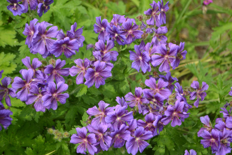 a cluster of cranesbill, also known as Johnson's Blue geraniums