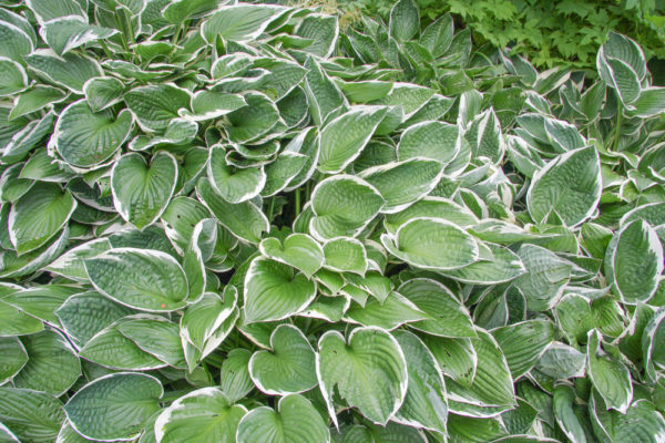 Francee hostas, which have large leaves with white edges, overlapping each other