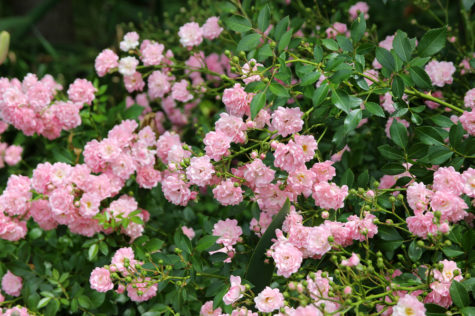 groundcover roses grow in shrubs close to the ground
