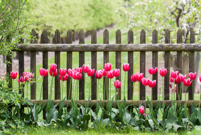 a row of tulips growing in front of a simple wooden fence