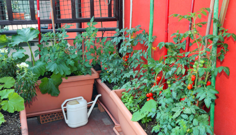 tomatoes are great crops to grow in containers