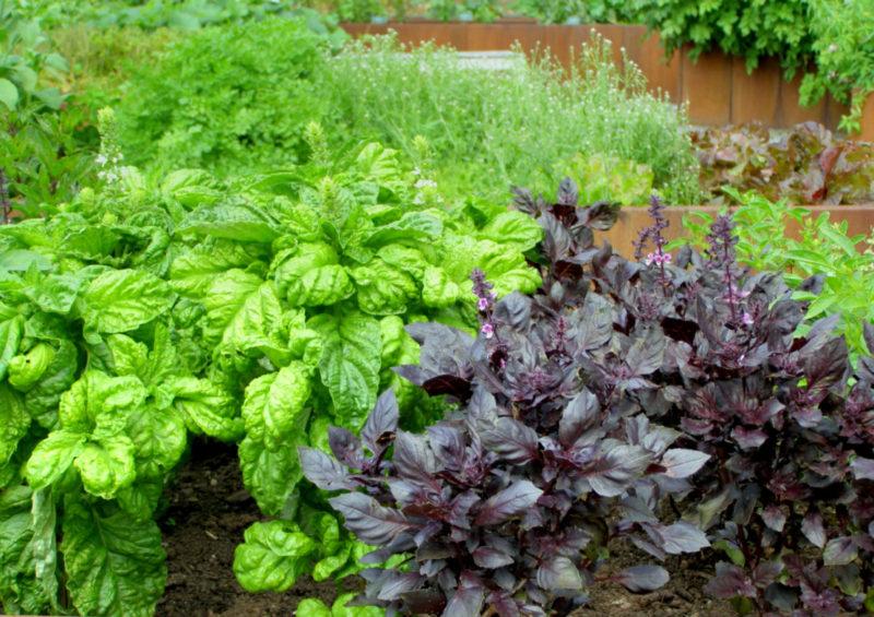 several varieties of basil growing in a flower bed herb garden