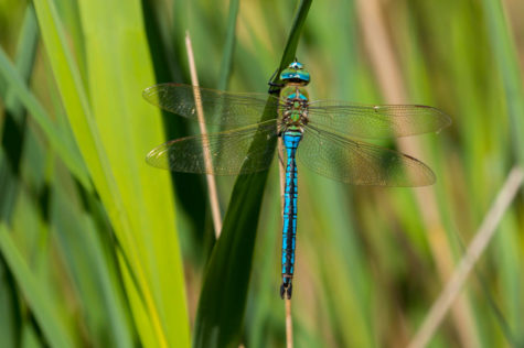 close up of a bright blue dragonfly perched on some grass