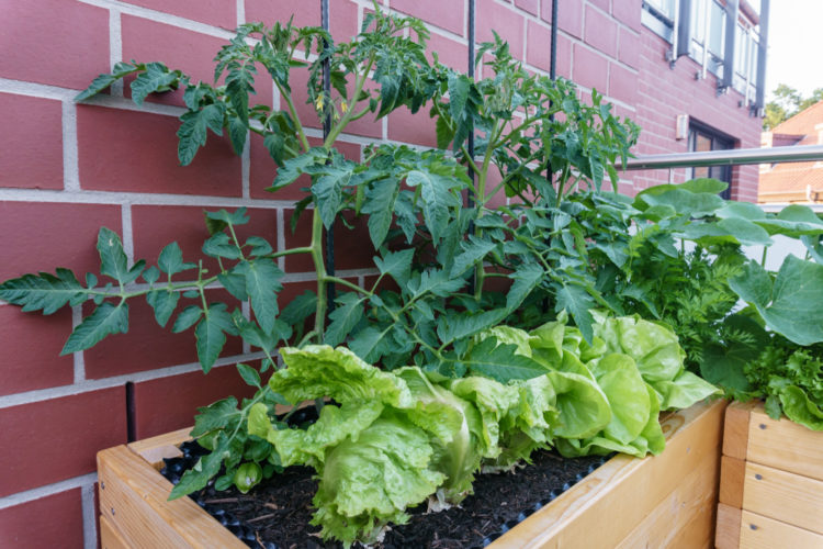 tomatoes and lettuce in a raised planter